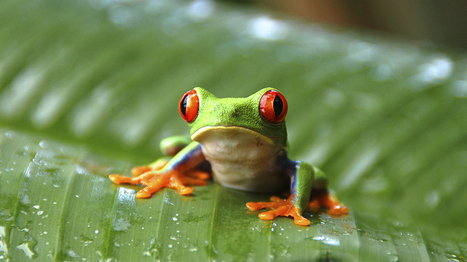 how frogs helped invent batteries